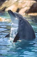bottlenose dolphin, Tursiops truncatus, San Diego, California