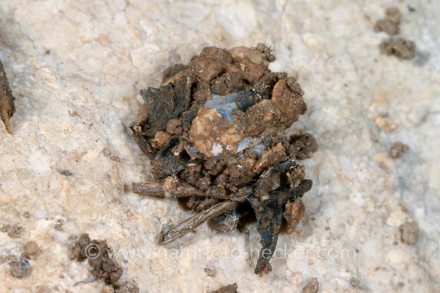Ameisenjäger, Gespinst, Zodarion germanicum, Lucia germanica, ant-eating spider, Zodariidae, Ameisenjäger