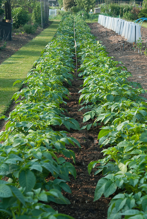 Rows of potatoes on an allotment plot, early morning late May.
