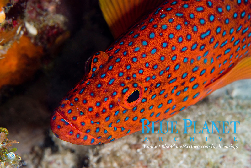 Coral grouper, Cephalopholis Miniata, coral grouper resting, size to 30cm, Raja Ampat, West Papua, Indonesia