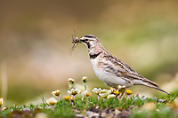 Horned lark on springtime tundra, Denali National Park, Interior, Alaska.