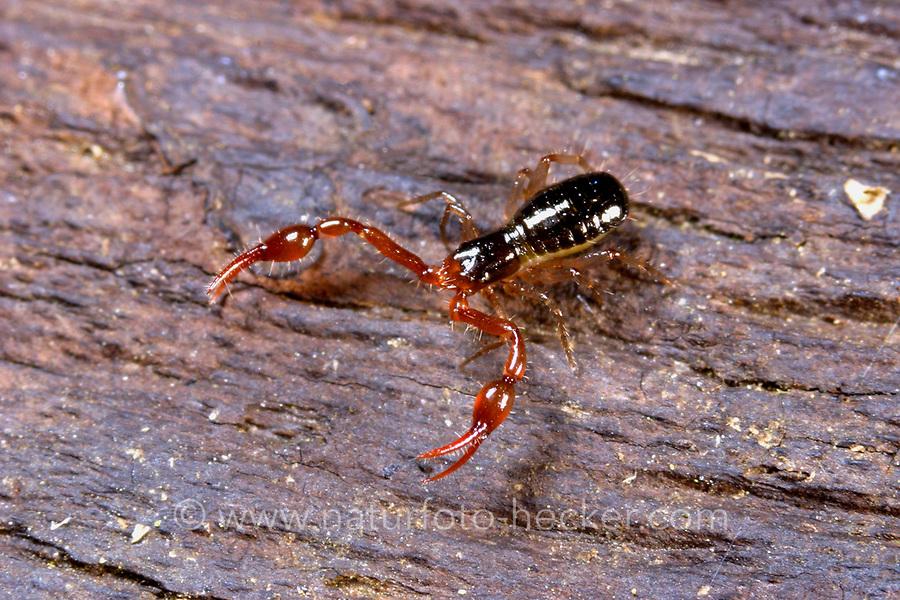 Moosskorpion, Moos-Skorpion, Neobisium spec., Moosskorpione, Pseudoskorpione, Afterskorpione, Bücherskorpione, Pseudoscorpiones, Pseudoscorpionida, pseudoscorpion, false scorpion, book scorpion, pseudoscorpions