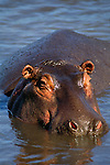 Hippopotamus, Tanzania