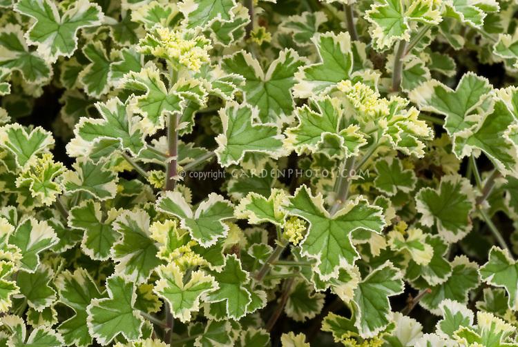 Pelargonium crispum 'Variegatum' AGM lemon scented geranium variegated green and gold foliage leaves