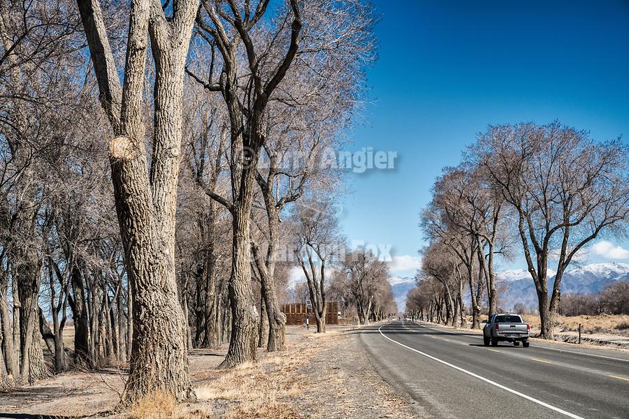 Bare cottonwood trees in winter, Upper Valley Road, Lovelock, Nevada.