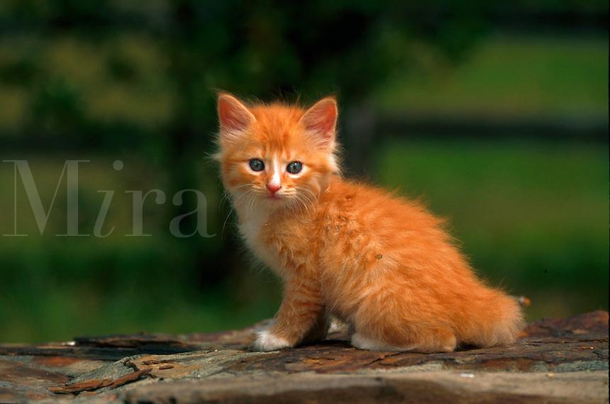 Portrait of an American short hair kitten sitting on a stone wall.