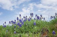 Bluebonnets near Llano, Texas