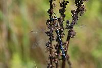 Herbst-Mosaikjungfer, Mosaikjungfer, Herbstmosaikjungfer, Männchen, Aeshna mixta, scarce aeshna, migrant hawker, male, L'æschne mixte