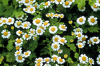 Mutterkraut, Mutter-Kraut, Tanacetum parthenium, Chrysanthemum parthenium, Feverfew