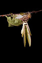 Indian Moon Moth / Indian Luna Moth {Actias selen} emerging from cocoon.  Captive. Sequence 14 of 24. website