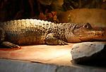 Foto: VidiPhoto<br /> <br /> VLISSINGEN – In reptielenzoo Iguana leven de meest wonderlijk reptielen en amfibieën. De meeste zijn door de douane of bij particulieren in beslag genomen. De Vlissingse reptielenopvang probeert waar mogelijk de dieren te herplaatsen in dierentuinen of weer terug te zetten in de natuur. Waar dat niet mogelijk is zorgt Iguana zelf voor opvang en zijn de dieren voor bezoekers te zien. Foto: Caiman crocodylus - brilcaiman.