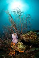 Reef scene with fan coral and Azure vase sponge, Callyspongia plicifera, St. Lucia, Caribbean, Atlantic