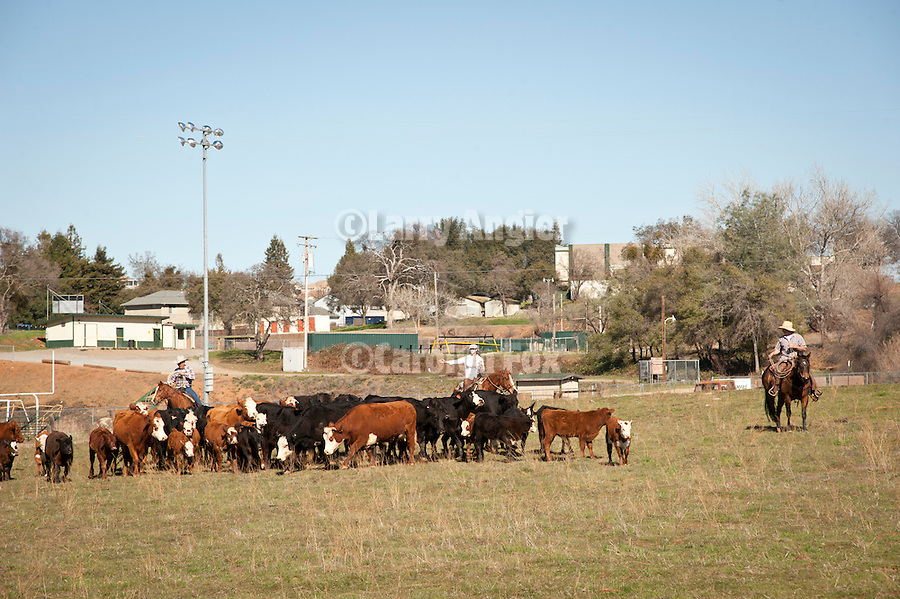 Gathering the cows and calves across from Argonaut High School at the Stoney Creek Corrals of the Busi Ranch, Amador County, Calif...Cattle ranching faces urban encroachments to land once used for grazing in the Sierra Nevada Foothills of California.