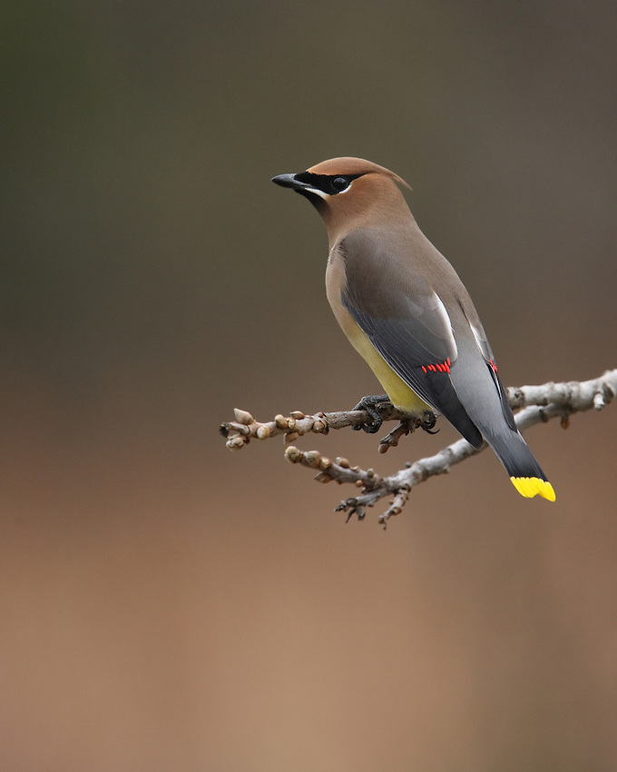 """The name """"waxwing"""" comes from the waxy red secretions found on the tips of the secondaries of some birds. The exact function of these tips is not known, but they may help attract mates."""