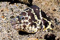 Chain Moray Eel Echidna catenada Bonaire, Netherland Antilles, Caribbean, Atlantic