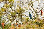 Knysna Turaco (Tauraco corythaix) in fynbos, Kaapsehoop, South Africa