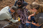 Black-footed Cat (Felis nigripes) veterinarian, Arne Lawrenz, biologist, Martina Kusters, and veterinarian, Melyssa Van Heerden, pulling female from termite mound den for re-collaring, Benfontein Nature Reserve, South Africa
