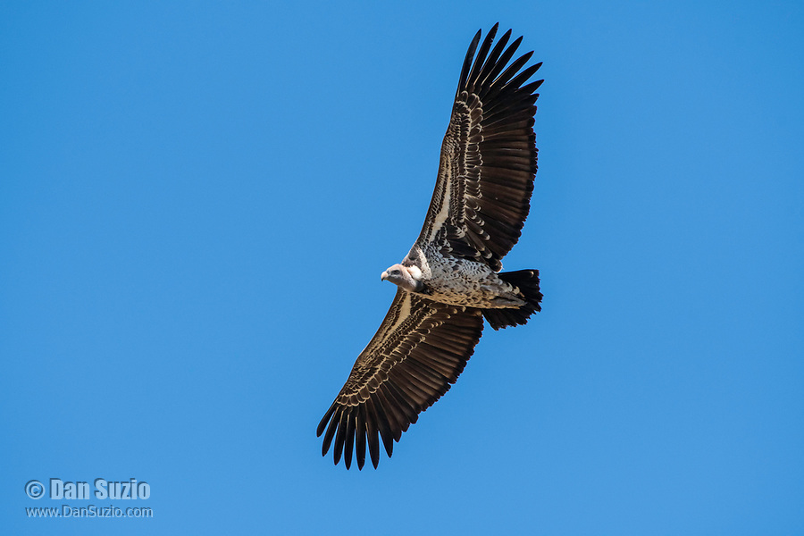 Ruppell's Griffon Vulture, Gyps rueppellii, soaring in Serengeti National Park, Tanzania