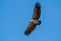 Ruppell's Griffon Vulture, Gyps rueppellii, soaring in Serengeti National Park, Tanzania