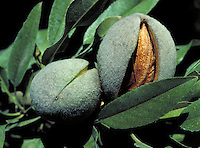 close-up of almonds on tree with casing open showing nut. almond, nut, nuts, crop, agriculture, harvest, food, snacks. California.