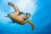 An endangered Hawksbill Sea Turtle (Eretmochelys imbricata) in Palm Beach, Florida.