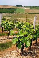 Vineyard. Monts Damnes. Pinot Noir. Domaine Henri Bourgeois, Chavignol, Sancerre, Loire, France