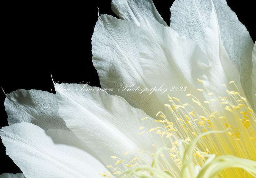 Night Blooming Cirrus Night Blooming Cereus