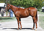 Hip #52 Elusive Quality - Xtra Heat colt at the  Keeneland September Yearling Sale.  September 9, 2012.