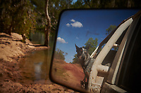 Truck drivers Nick and Joanna Atkins' pet dog Lin, puts his head out the window during a river crossing on the Gibb River Road, on their way from Kununurra to Kalumburu.