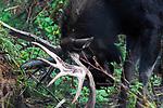 Bull moose rubbing antlers against fallen tree during rut season.