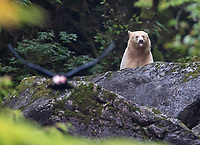 A spirit bear lets us know what it thinks of a raven flying off with a piece of fish.