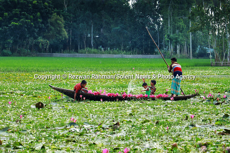 Pictured: Young boys play with water lillies as they harvest them by boat on a lake in Kalir Bazar, Bangladesh.<br /> <br /> A young boy playfully raises two water lilies in the air and sprays water in the shape of a heart.   The nine year old, Krishna, is part of a group of boys helping his older brother collect the vibrant pink flowers.<br /> <br /> His brother Atik, 20, sailed him and the others to pick the lilies which they will later sell at a local market.   The photographs were taken by Rezwan Rahman, on a lake in Kalir Bazar, Bangladesh.   SEE OUR COPY <br /> <br /> Please byline: Rezwan Rahman/Solent News<br /> <br /> © Reezwan Rahman/Solent News & Photo Agency<br /> UK +44 (0) 2380 458800