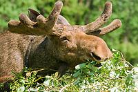 A bull Eurasian elk, Alces alces, feeding on willow leaves at the Sumarkova Eurasian elk farm. Kostroma, Russia, Arctic