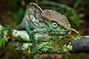 Parsons chameleon female {Calumma parsonii} on vine in tropical rainforest. Andasibe-Mantadia NP, Madagascar.