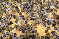 On a cadre full of pollen and larva, the nurse or feeder bees keep active to maintain a constant temperature of 33°C.///Sur un cadre remplit de pollen et de larves, les abeilles nourricières s'activent pour garder une température constante de 33 °.