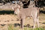 Brazoria County, Damon, Texas; a newborn male calf standing in the pasture