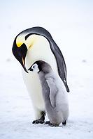 Snow Hill Island, Antarctica. Emperor penguin parent bonding with chick.