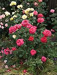 Incense Rose bush, Arthur Bell rose, Rosa hybrids