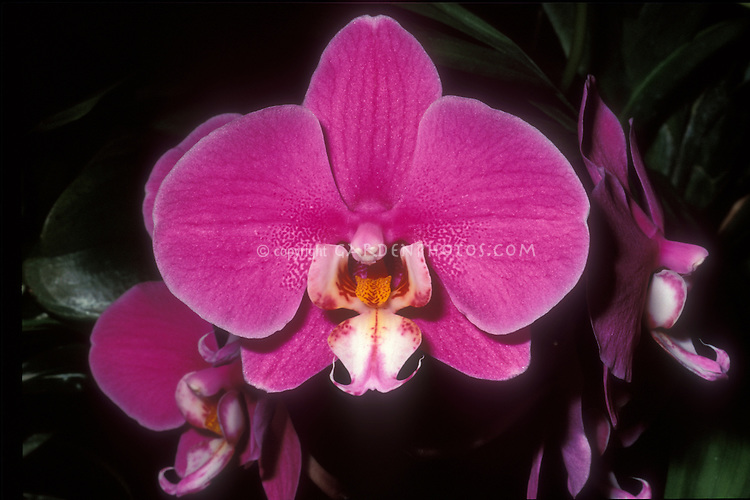 Phalaenopsis Hilo Lip orchid in pink flower with white lip