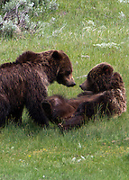 Courting grizzly bears ((Ursus arctos horribilis). During the grizzly bear's mating season, pairs combine and stay with each other for a week to 10 days. During that time they frolic, play and mock fight for hours on end. I have seen this behaviour before, but never within camera range. Here, on June 16, 2011, this pair came about 170 yards from the road in Yellowstone in the Little America area and carried on in and out of the water for about an hour.