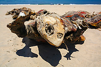 loggerhead turtle, Caretta caretta, washed up dead - possibly caught as bycatch and thrown back to the ocean - as many as 17 of these turtles wash up dead as bycatch in the gill-net and long-line fisheries each day along the Pacific Coast beaches of Isla Magdalena, Mexico, Pacific Ocean