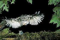 OW08-011z   Saw-whet owl - flying to catch prey mouse- Aegolius acadicus
