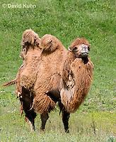 0620-1004  Bactrian Camel, Camelus bactrianus  © David Kuhn/Dwight Kuhn Photography