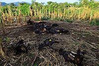 Zambia Chiawa, Game Reserve Area des Lower Zambezi Nationalpark, dead elephant in maize field which was shot by rangers after village attack / SAMBIA Chiawa, Doerfer im Game Reserve Area des Lower Zambezi Nationalpark, die Dorfbewohner und ihre Felder werden staendig von Wildtieren wie Elefanten attackiert, Skelett eines Elefanten, Ranger toeteten den Elefant der Maisfelder zerstoert und Dorfbewohner angegriffen hat