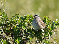 White-crowned Sparrow, Zonotrichia leucophrys, at Cesar Chavez Park, Berkeley, California