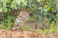 an adult female jaguar, Panthera onca, on the riverbank of Rio Tres Irmao, Mato Grosso, Brazil, South America