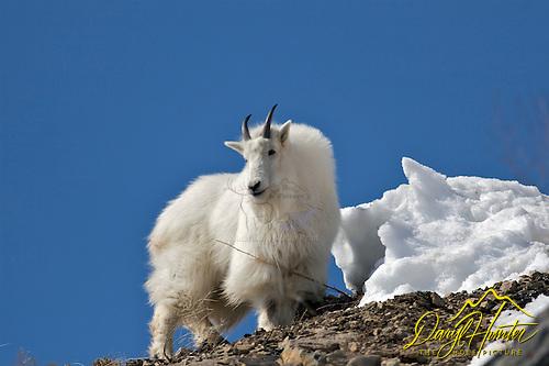 Snake River Range Mountain Goat