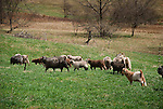 Angora goats, Steam Valley Fiber Farm