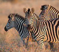 Burchell's zebras are a common sight in southern Africa.