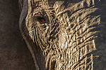 African Elephant (Loxodonta africana) female, Kruger National Park, South Africa